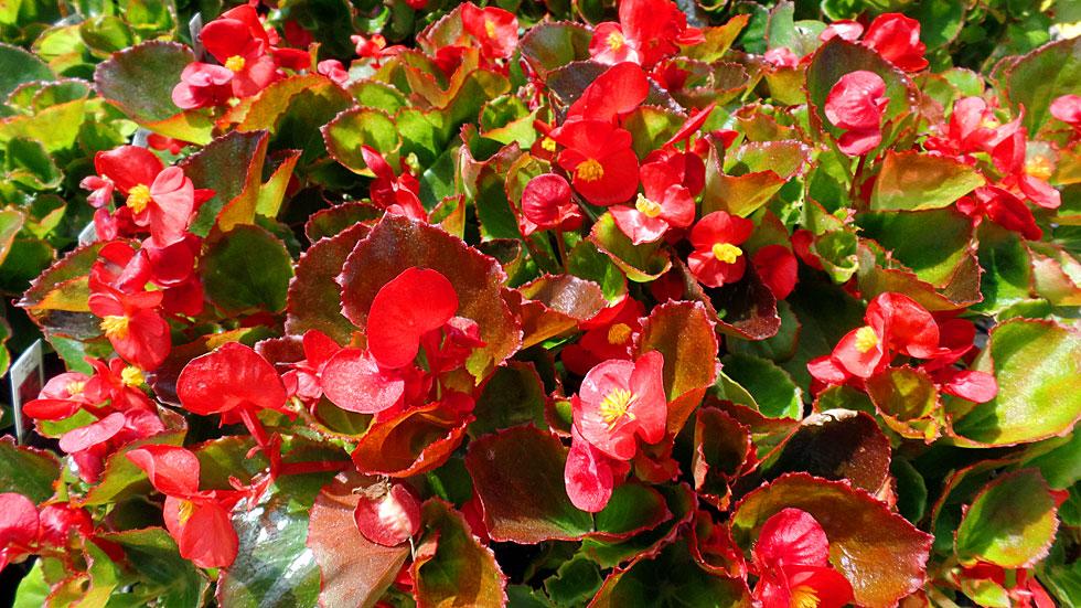 Beautiful Begonias Warren S Southern Gardens Kingwood Tx