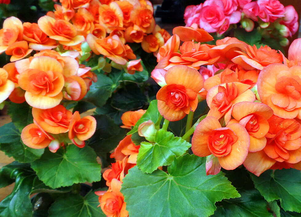 Types Of Begonias With Pictures 28 Images Beautiful