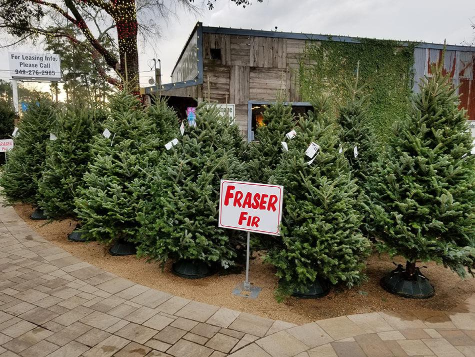 How To Care For Your Christmas Tree Best Houston Garden Center Kingwood Tx Warren 39 S