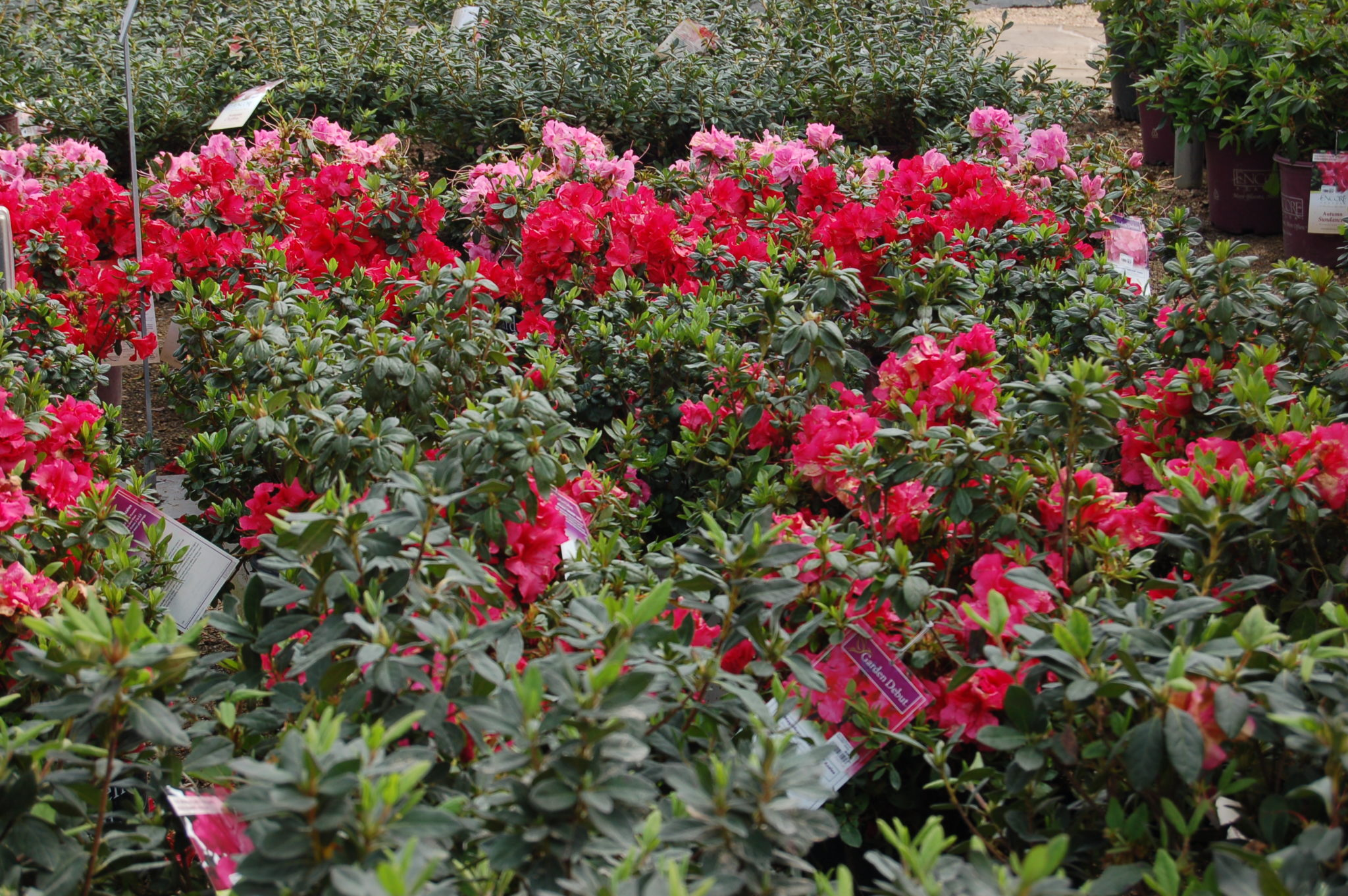 Kingwood Blooming Shrubs Roses And Evergreens Warren S