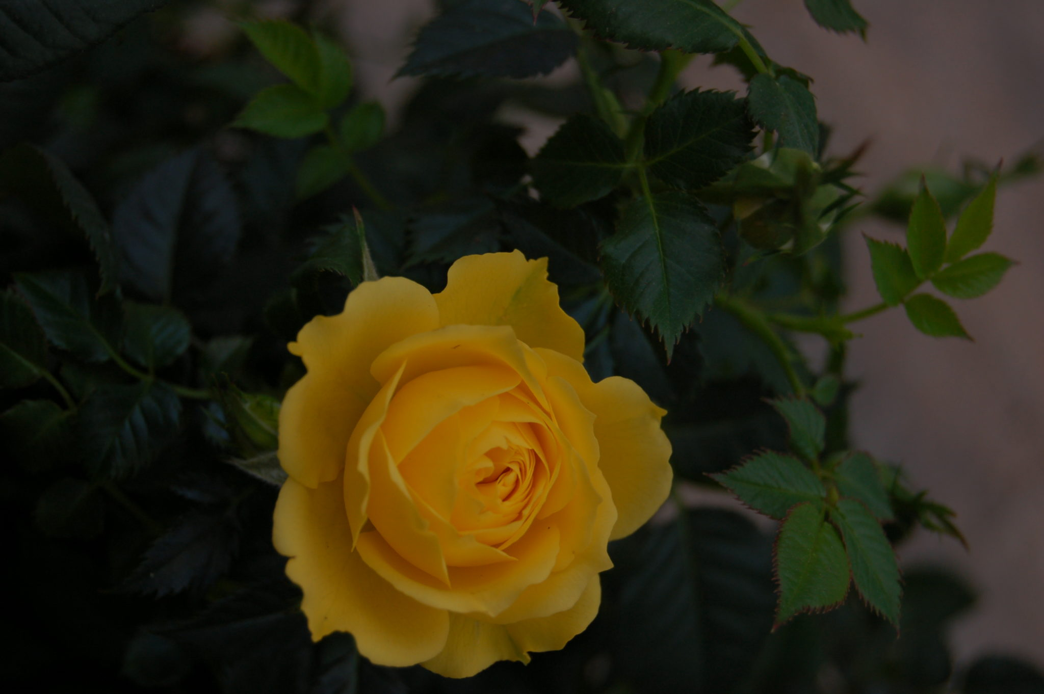 Kingwood Blooming Shrubs, Roses, and Evergreens - Warren's Southern